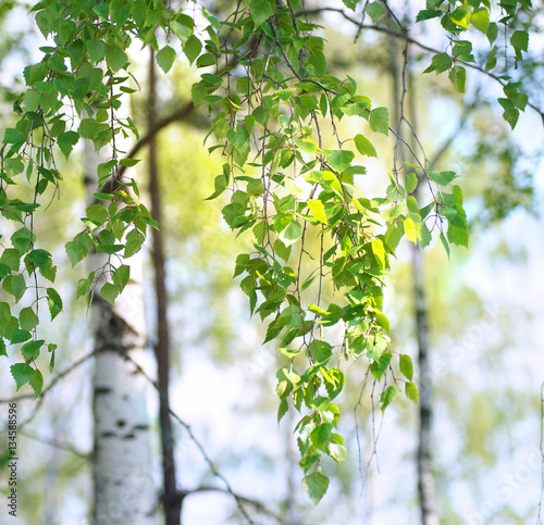 Young first fresh green leaves on the branches of a birch in the spring on the nature close up in the sun.