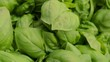detail of beautiful and fresh basil leaves