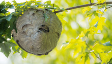 Large Nest Of Wasps Hangs Over...