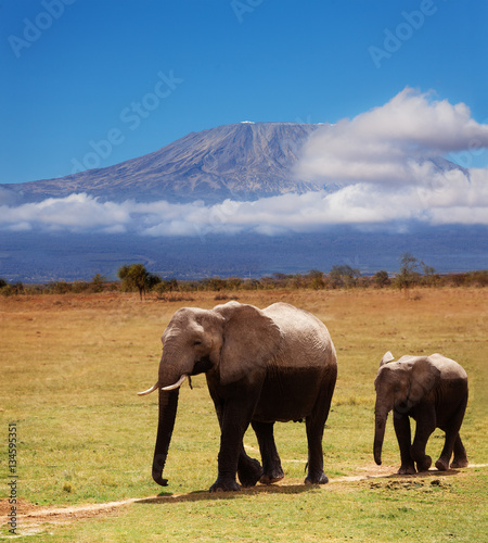 Adult African elephant with calf covered by mud