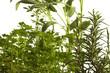 Αρωματικά φυτά Ароматичне биљке Yerbêye Plante aromatique Pianta aromatica نبات عطري கறி மூலிகைகள் Aromatic plants