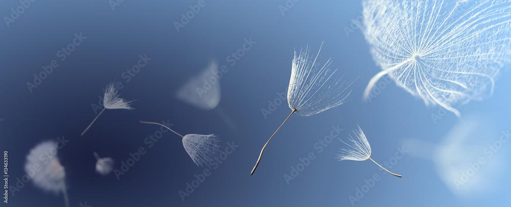 Fototapety, obrazy: flying dandelion seeds on a blue background