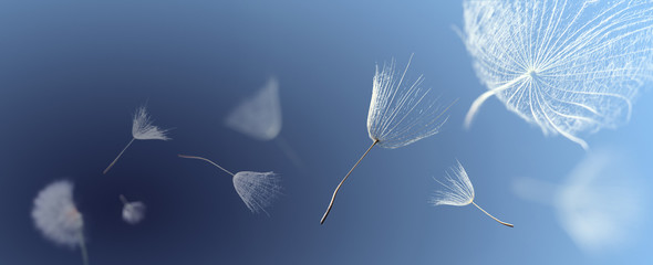 Fototapeta Do biura flying dandelion seeds on a blue background