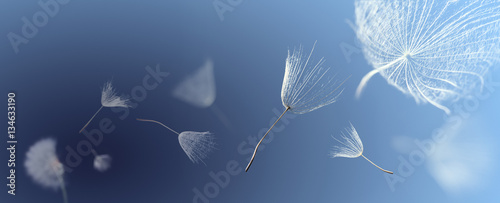 Foto-Schiebegardine ohne Schienensystem - flying dandelion seeds on a blue background (von Chepko Danil)