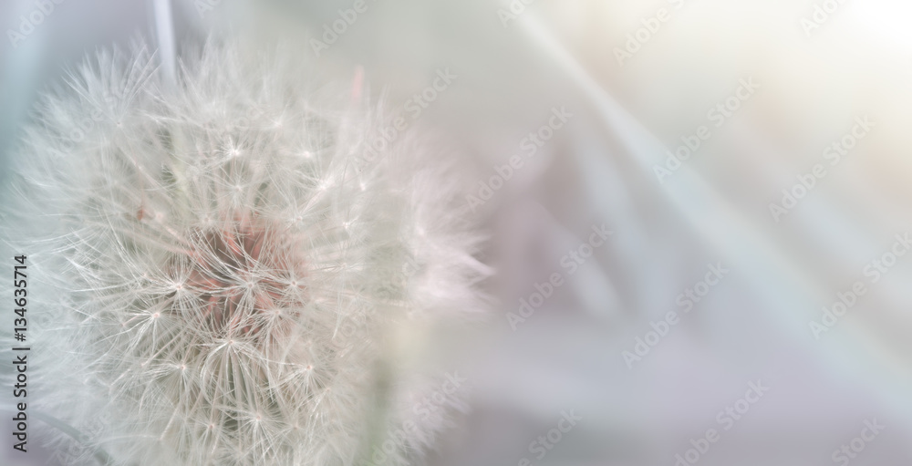 Fototapety, obrazy: Dandelion close up on natural background. Dandelion flower on summer meadow