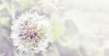Dandelion close up on natural background. Dandelion flower on summer meadow  - 134635744