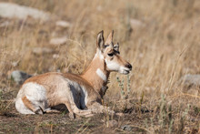 Pronghorn Fawn