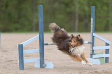 Shetland Sheepdog Jumping Over An Agility Hurdle In Agility Competition