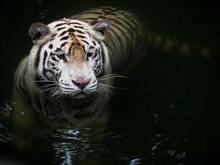 A White Tiger Swims Through Dark Water.