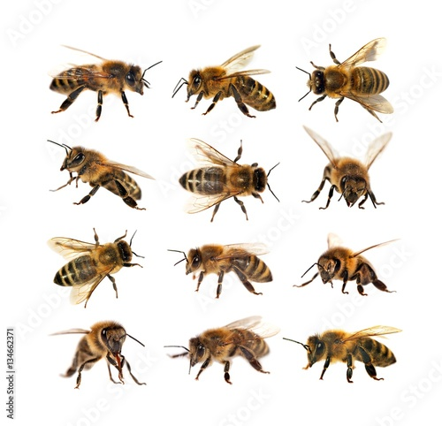 Recess Fitting Bee group of bee or honeybee, Apis Mellifera