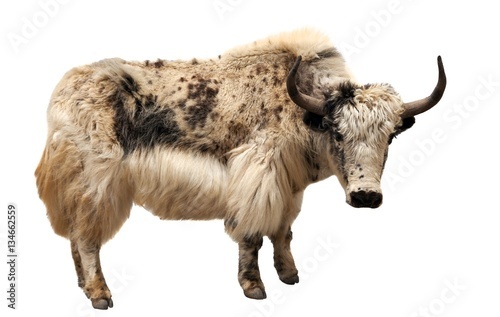 Obraz white and brown yak (Bos grunniens or Bos mutus) - fototapety do salonu