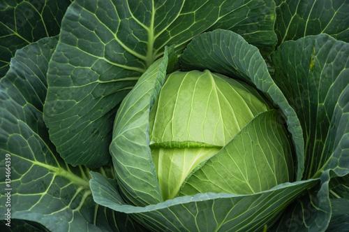 Fotografiet  The cabbage closeup