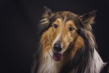 Scottish Shepherd, Lassie, Sable Color, Black Background