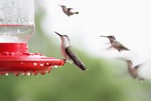 Ruby-Throated Hummingbird Sitt...