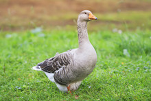 Gray Goose Walking In The Village On The Green Grass And Turning