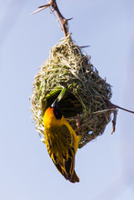 Southern Masked Weaver On Its Nest