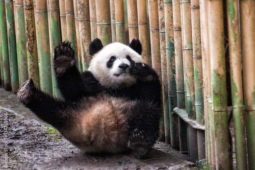 Foto op Canvas Panda Giant panda waiving in the zoo