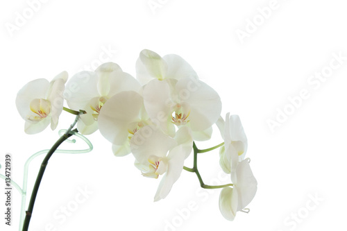 Garden Poster Orchid white orchid wedding on a white background 5