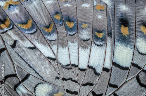 Photo  Close up Black Rajah (Charaxes solon sulphureus Jordan, 1900) Butterfly wing, bu