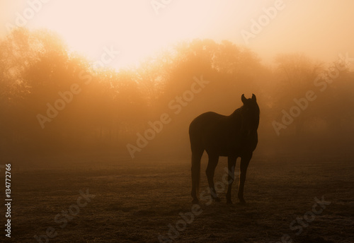 Pinturas sobre lienzo  Horse silhouette in heavy fog at sunrise