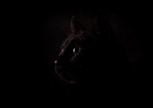 Profile Of A Mysterious Black Cat Against Dark Background, Lit From One Side
