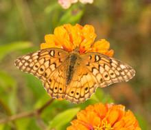 Dorsal View Of A Variegated Fritillary Butterfly Feeding On An Orange Zinnia Flower