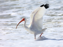 White Ibis (Eudocimus Albus) Standing Up The Wings On The Shore, Florida, USA