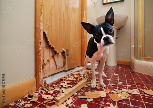 Fotografie, Obraz  Naughty Boston Terrier has eaten the door