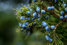 Juniper Berries On A Green Bra...