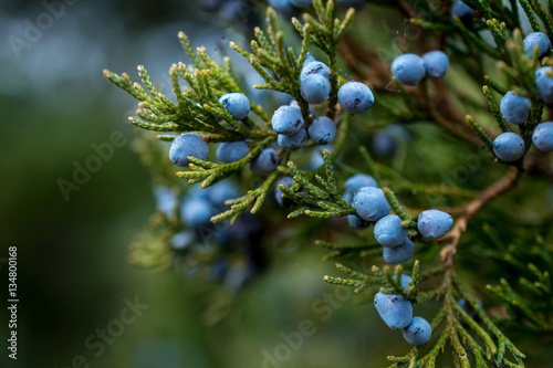 Fototapeta Juniper berries on a green branch obraz