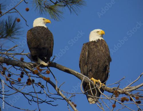 Photo  Adult bald eagle pair