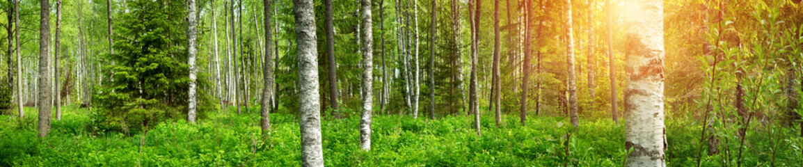Fototapeta Panorama birch forest panorama in summer. Sun in the park