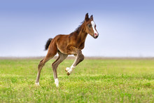 Beautiful Bay Foal Run Gallop ...
