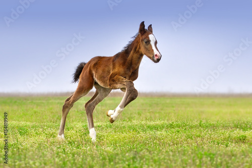 Obraz na plátně Beautiful bay foal run gallop on spring green pasture