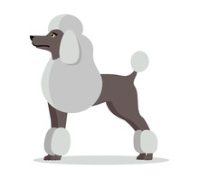 Poodle In Stand On White Background