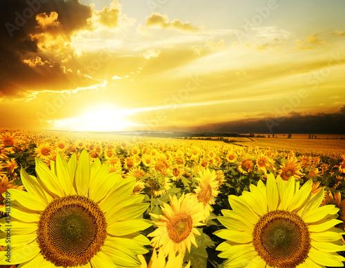 Poster Jaune Field of flowers sunflowers
