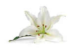 Just a Lone Lily Being Beautiful - biała lilia symbolizuje dziewictwo, czystość i cnotę, oto samotna głowa odizolowana na białym tle