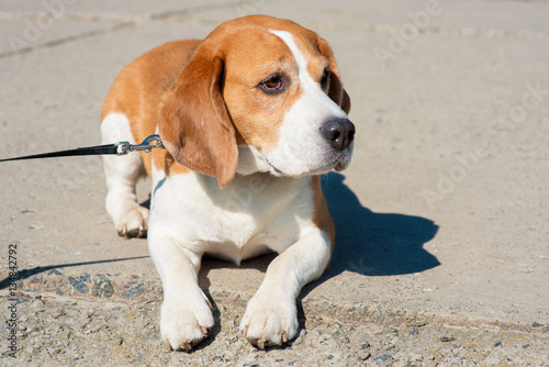 Keuken foto achterwand Retro spring photo of beagle dog