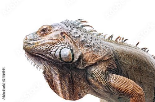 live iguana isolated