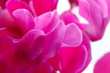 Peonia - close-up petals.