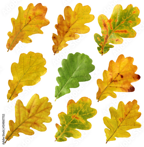 set of autumn leaves of oak, isolate.
