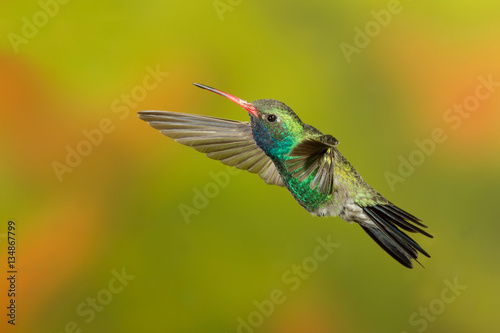 Broad-billed Hummingbird flying
