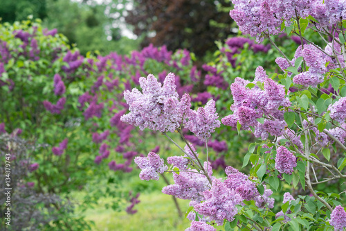 Recess Fitting Lilac Flowering branch of lilac