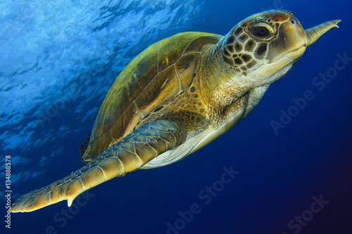 Poster Tortue Green Turtle in the blue