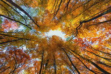 Look At The Sky Through An Autumn Forest
