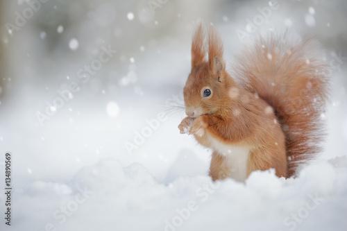 Foto op Canvas Eekhoorn Red squirrel in falling snow