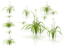Vector Isolated Reed. Water Pl...