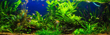 Fish In Freshwater Aquarium Wi...