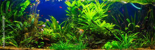 Foto fish in freshwater aquarium with green beautiful planted tropica