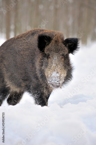 Fototapety, obrazy: Wild boar in winter